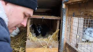 Замена подстилки, почему крольчата маленькие, зачем нужны породистые кролики?