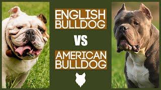 ENGLISH BULLDOG VS AMERICAN BULLDOG