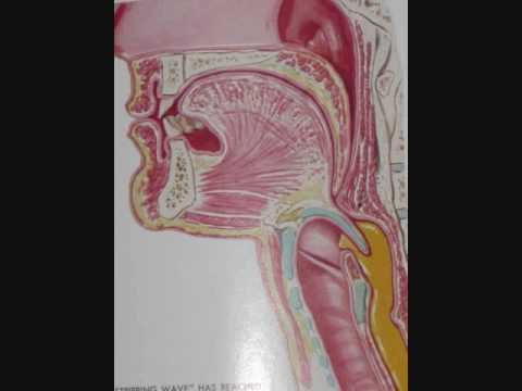 Head & Neck Anatomy; Pharynx; Swallowing; Bile Ducts; professor fink ...