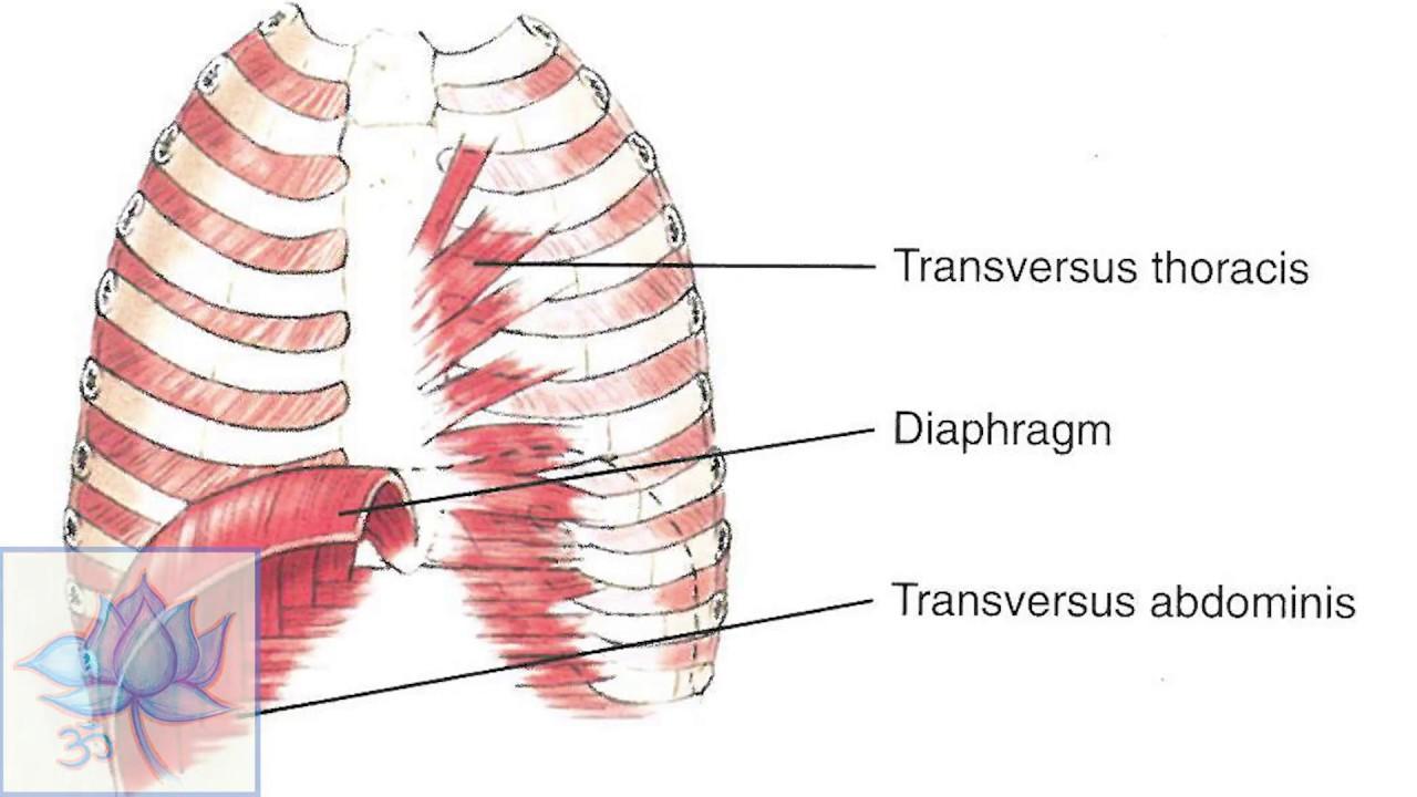 Abdominis Transversus is Antagonist to the Diaphragm - YouTube