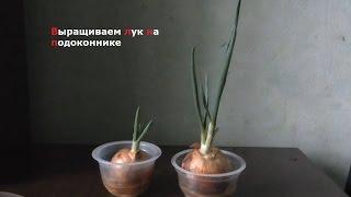 Как вырастить лук дома на подоконнике, без земли. ( Survival # 3 )