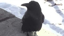 Raven Speaks: Unusual Vocals + Wing Lifts, Grand Canyon, Arizona