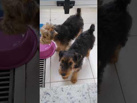 Airedale terrier e Lakeland terrier