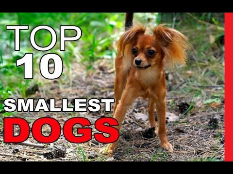 Top 10 Smallest Dog Breeds in Existence
