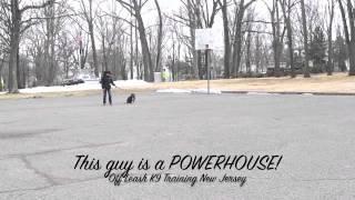 Pit Bull Off Leash K9 Training New Jersey