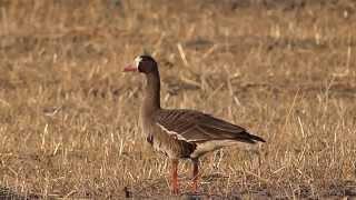 охота на гуся- видео охота(, 2014-04-03T20:27:32.000Z)