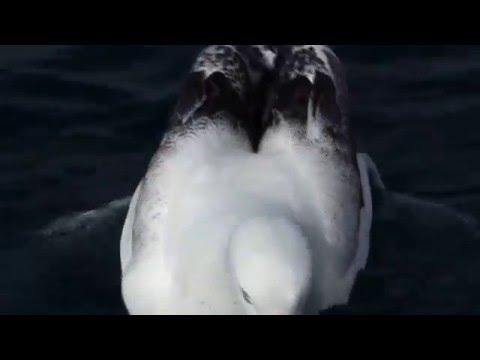Southern Royal Albatross - Diomedea epomophora, Stewart Island