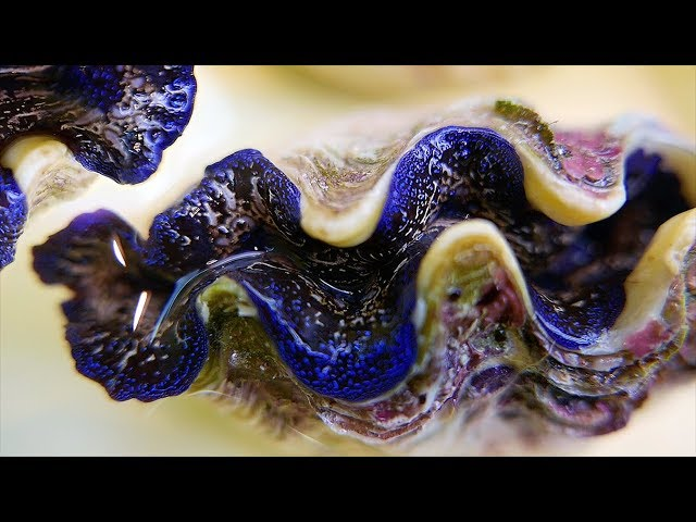 Japanese Street Food - BLUE ALIEN CLAM Sashimi Garlic Butter Clams Japan Seafood