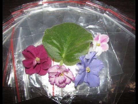 видео: Укоренение листовых черенков фиалок в зип-пакетах.