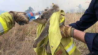 Avustralyada Yangında Kurtarılan Koalalar  Avustralya Yangını