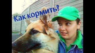 Как кормить собаку? Видео ответ. Немецкая овчарка Бейлис