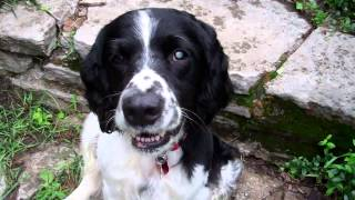 English Springer Spaniel: Maessr Presents Bandit 9 Before & After