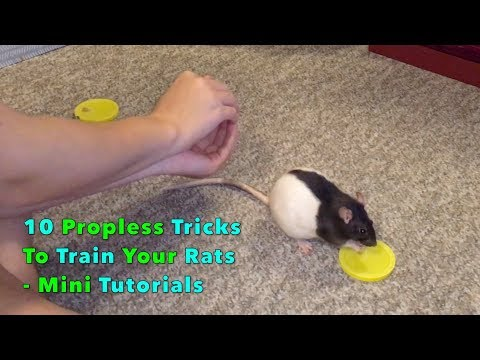 10 Tricks To Train Your Rats Using The Human Body As A Prop - Mini Tutorials