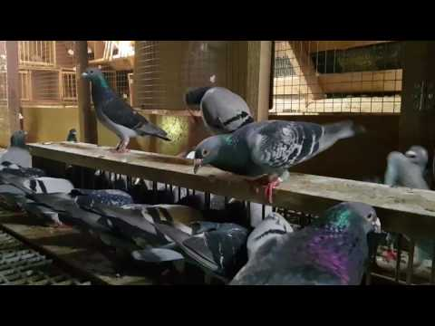 Another day with my racing pigeons: breeders, youngsters and hawks 2017-08-06