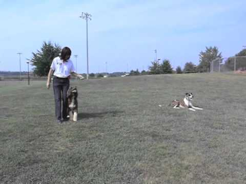 two-dogs-off-leash-training-at-the-park-&-playing-frisbee-&-dancing