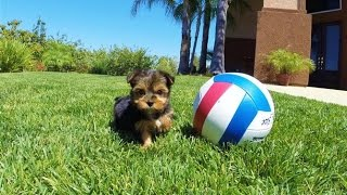 'nala' - Tiny Female Akc Yorkshire Terrier Puppy For Sale In San Diego, Ca