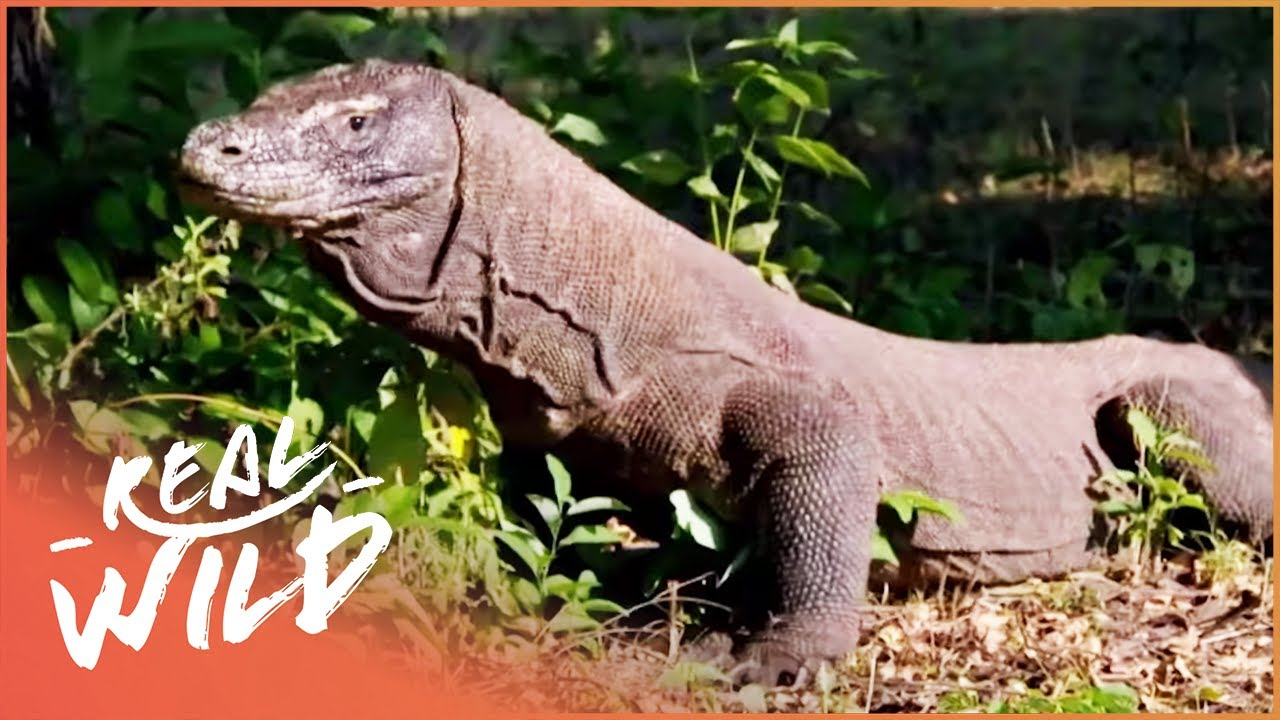 Komodo: Land Of The Dragons (Wildlife Documentary) | Inside Nature's Marvels | Real Wild