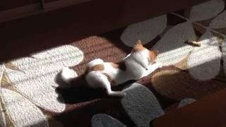 雑種子犬マロン(雌)生後3ヶ月 2012年12月3日お昼頃撮影 2012年12月2日...