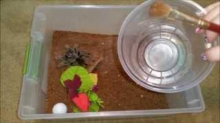 Rehousing Adult Tarantulas and Getting Rid of Mites