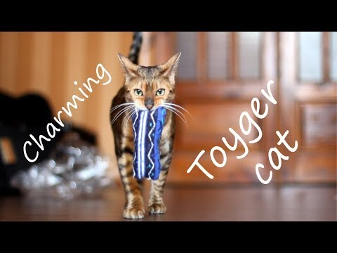 Meet charming the cat of breed Toyger - Sirena