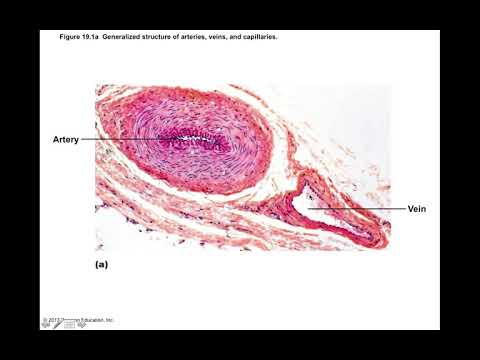 Chapter 19 Blood Vessels Part1 - YouTube