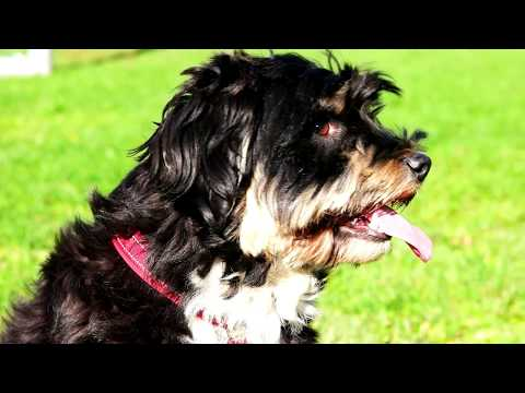 Dokhi Apso  -- Tibetan Terrier