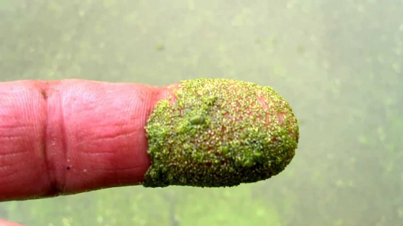 Duckweed and Watermeal Identification - YouTube