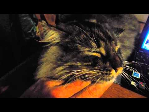 EX Homeless stray Maine Coon taking in the affection