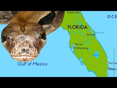 Why Giant Snakes Are Taking Over South Florida Youtube