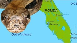 Why Giant Snakes Are Taking Over South Florida