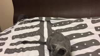 Русские голубые котята. Русская голубая. Питомник Ruzara