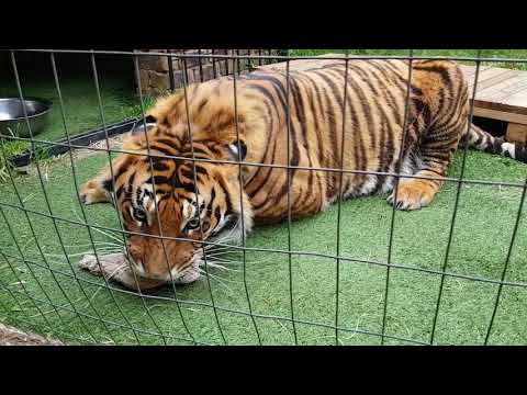 Tigers are not called apex predators for nothing!