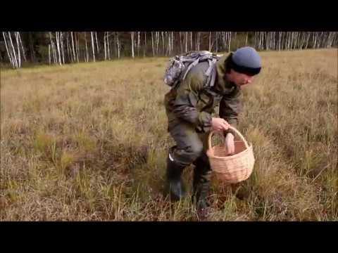 Сбор клюквы. Часть первая. Идём на болото