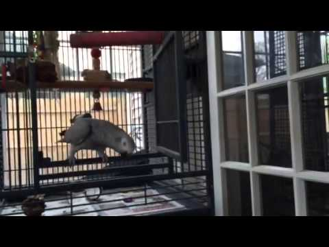 Scully the Dancing African Grey Parrot