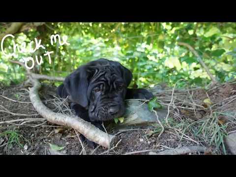 The Neapolitan Mastiff - Different Colors - Black Mastino