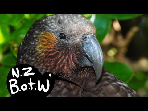 Kaka - New Zealand Bird Of The Week