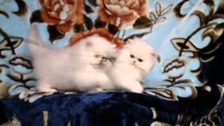 Котята персидской шиншиллы, котики 2 месяца