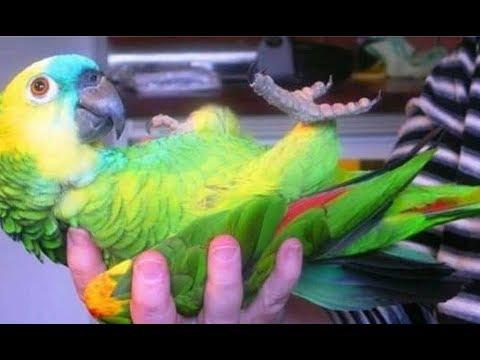 Говорящий попугай чуть не довел свекровь до инфаркта. Вот так история