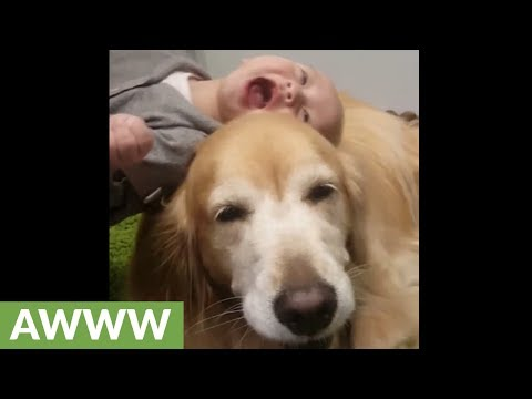 Smiling Golden Retriever entertains laughing baby