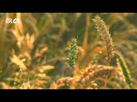 Download Schulfilm-DVD: Getreidesorten - Weizen, Gerste, Roggen, Hafer, Mais (DVD / Vorschau)