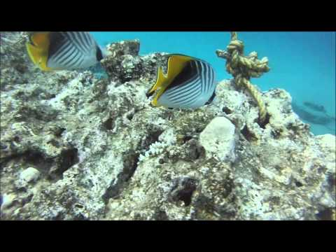 Thread Fin Butterfly Fish Of The Red Sea