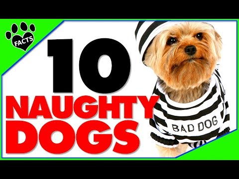 TopTenz: Top 10 Naughtiest Dog Breeds Try Not To Laugh - Animal Facts