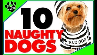 Top 10 Naughtiest Dog Breeds - Naughty Not Bad