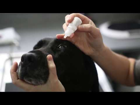 how to give eye drops to a dog - Vet Advice
