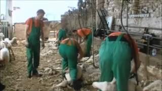 Los alumnos del curso de esquiladores trabajando en plena campaña de esquileo