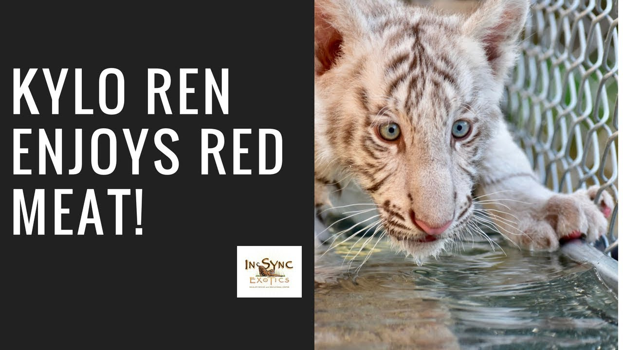 Kylo Ren loves red meat! Baby White Tiger at In-Sync Exotics Wildlife  Sanctuary