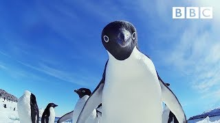 Adélie penguins wreak havoc - Snow Chick: A Penguin's Tale Preview - BBC One Christmas 2015