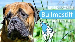 Bullmastiff Breed, Temperament & Training
