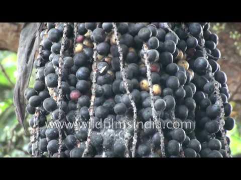 Flowering Plant Caryota Urens In India