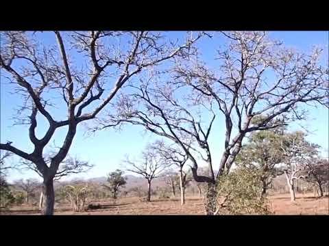 Leopardo ataca macaco - Incrível !